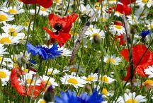 Mirajul florilor de mac