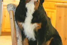 Bernese dogs