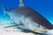 Land Sharks: Free Short Story / Free novella set in the Bahamas about sharks and shark finning.