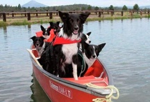 boRdeR CoLLies tOo / For the love of Eli I pin to this board ~ 5/17/13 he is in full remission from Systemic Histiocytosis 6/15/13 battle is back on. Thankful for every day to love this sweet Border Collie