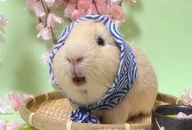 Guinea Pig love / Little cuties