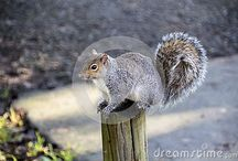Squirrels Dreamstime / Eastern gray squirrel - All these photos can be bought full size and with no watermark -  Follow the link