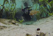 Alexander Springs, Florida / Lot's of #fish at #AlexanderSprings in #LoveFL ! #BeefCornellUGA #BeefBoulderCO Beef CornellUGA Productions, Inc. #GoPro #Hero3 —  scuba diving at Alexander Springs Recreation Area.  / by David Heath