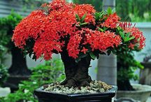 ixora bonsai