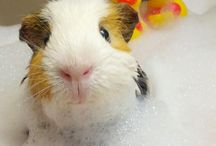 Giving Guinea Pigs a Bath / Learn how to give your guinea pig a bath. What to see cute pictures of a guinea pig in a bath?