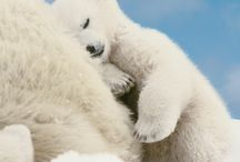 Things about Polar Bears