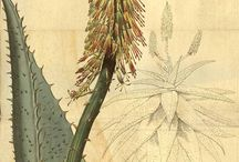Botanical Art / A collection of beautiful botanical art, both antique and modern. Also includes botanical art of Ikebana (Japanese flower arranging)