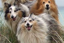 shelties and other animals / by Amy Jennett