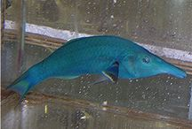 SALTWATER FISH / SaltWaterFish.com is your complete source for salt water fish and marine life. With an incredible selection of Angelfish , Clownfish and special selections of aquacultured fish, SaltWaterFish.com is committed to delivering you the best quality, heartiest marine fish. Our 15-Day Live Guarantee, great customer service and great prices make SaltWaterFish.com your best source for salt water tank fish. http://www.saltwaterfish.com/categorylist-saltwater-fish