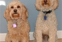 Hypoallergenic Puppies / by Heather (Riley) Howes