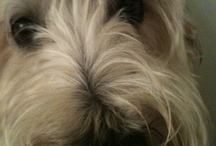 Adorable Dogs / Terriers, Westie, Schnauzer, Old English Sheep Dog, Bearded Collie & more!!!