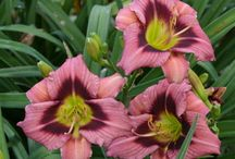 Daylilies / A collection of all the daylilies we offer at The Fields!