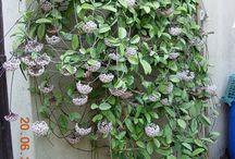 Hoya Κερακι / Κεράκι φυτό