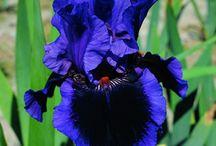 Iris Lirios