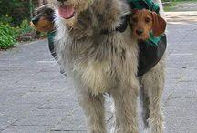 Teckels / Honden