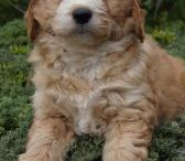 Mini-groodles / Mini-groodles from Banksia Park Puppies
