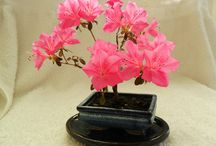 """Bonsai / This beautiful flowering 'azalea' is just 3 years old. The plant was taken from a bush & split at the root-ball. The tree was planted into a ceramic pot & the azalea currently stands at 5"""" high, & has been wired to create the desired shape of the tree, visible."""