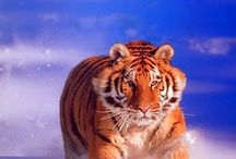 Snow Tiger Wall Decor Art Print Posters