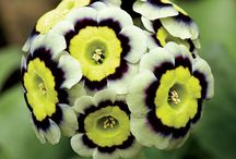 Primula / by Growing With Plants