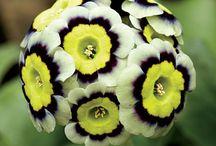 coolplants : Primula auricula