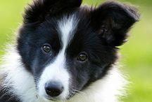 cuki border collie-k és más kutyák
