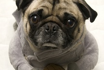 Costumes for Doggie Pug