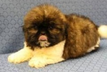 Teddy Bear Dogs / I love teddy bear pups. We have a zuchon type teddy bear which is shih-tzu and bichon frise hybrid. His name is Theodore and he is the sweetest dog ever. He is also spoiled but we love him.