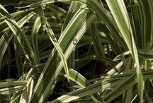 Phalaris arundinacea / Båndgress, mannsliknelse, menneskenes sinn, Canary Reed Grass