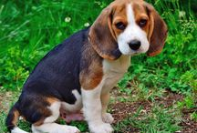 Dogies & Brandy / Dogies, dogie, oh those soft creatures !!!! My Beagle dogie Brandy is a sweet, playful creature who loves stealing things and ...eating! She's a great walking partner and a precious friend!