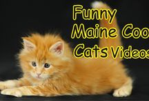 Maine coon cats Videos / funny maine coon cats video compilations