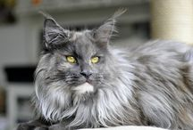 Maine coon, Norwegian cat
