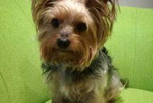 Tobinko naš maznačik / Yorkshire terrier