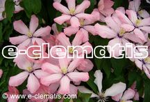Clematisy