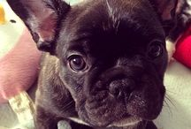 Josie / This is a board dedicated to our new addition: Josie the French Bulldog