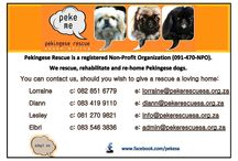 PEKINGESE RESCUE OF SOUTH AFRICA / ZAMBI NEEDS A HOME, PLEASE ADOPT HIM