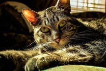 "Beautiful Creatures: Tabby Cats / In honor of my beautiful creature, General Beauregard ""Beau"". / by Shasta Seagle"