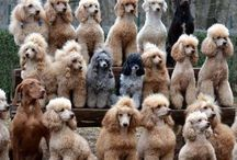 I Love Poodles...enough said!!!! / by Susie Ternent Stotler