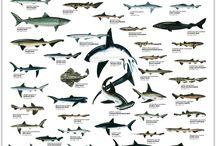 Shark Project