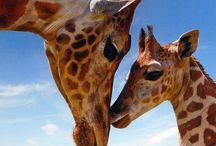 Animals: Giraffes / by Melody Ball