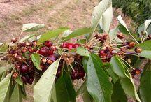 Comment protèger les cerises contre les vers et oiseaux / Comme tous les arbres fruitiers, le cerisier est menacé par un grand nombre d'ennemis (insectes et oiseaux) La dégustation des cerises est parfois gâchée par la découverte d'un fruit véreux.