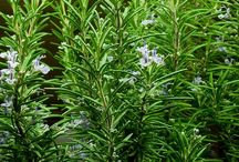 Rozmaring - Rosmarinus officinalis