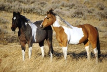The Bonanza Horses / The Bonanza Creek horses are almost all Quarter Horses with a few Paints and Appaloosas sprinkled in for color, and a few Draft Horse crosses for size. These solid, hearty and sure-footed animals are the iconic horse of the American West. Many are former ranch horses, and all are familiar with our terrain. If you've never ridden one, you're in for a treat.