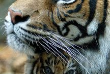 The Eye of a Tiger / animals