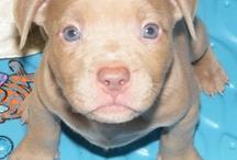 Pitbull Puppies/Pitbull Dog's