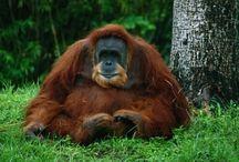 ANIMAL • Orangutan