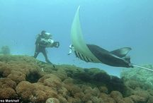 """Rays / There are about 200 species of rays. Stingrays come in two different general """"types"""" - the """"benthic"""" (or bottom) stingrays, and the """"pelagic"""" - (or swimming) stingrays."""
