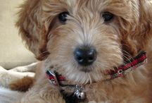 Goldendoodle Puppies / Some day I'd like our little family to have a dog. Until then, I'll just keep wishing...