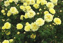 ruusuja pohjois-Suomeen
