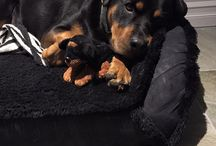 Rottweilere