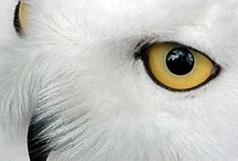 wildlife: owl